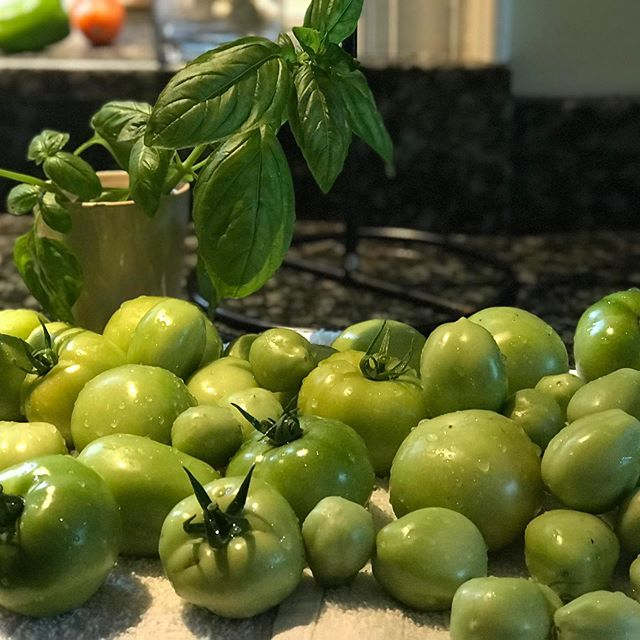 Harvested green to get a second crop. If they don't turn red — fried green tomatoes #novicegardener