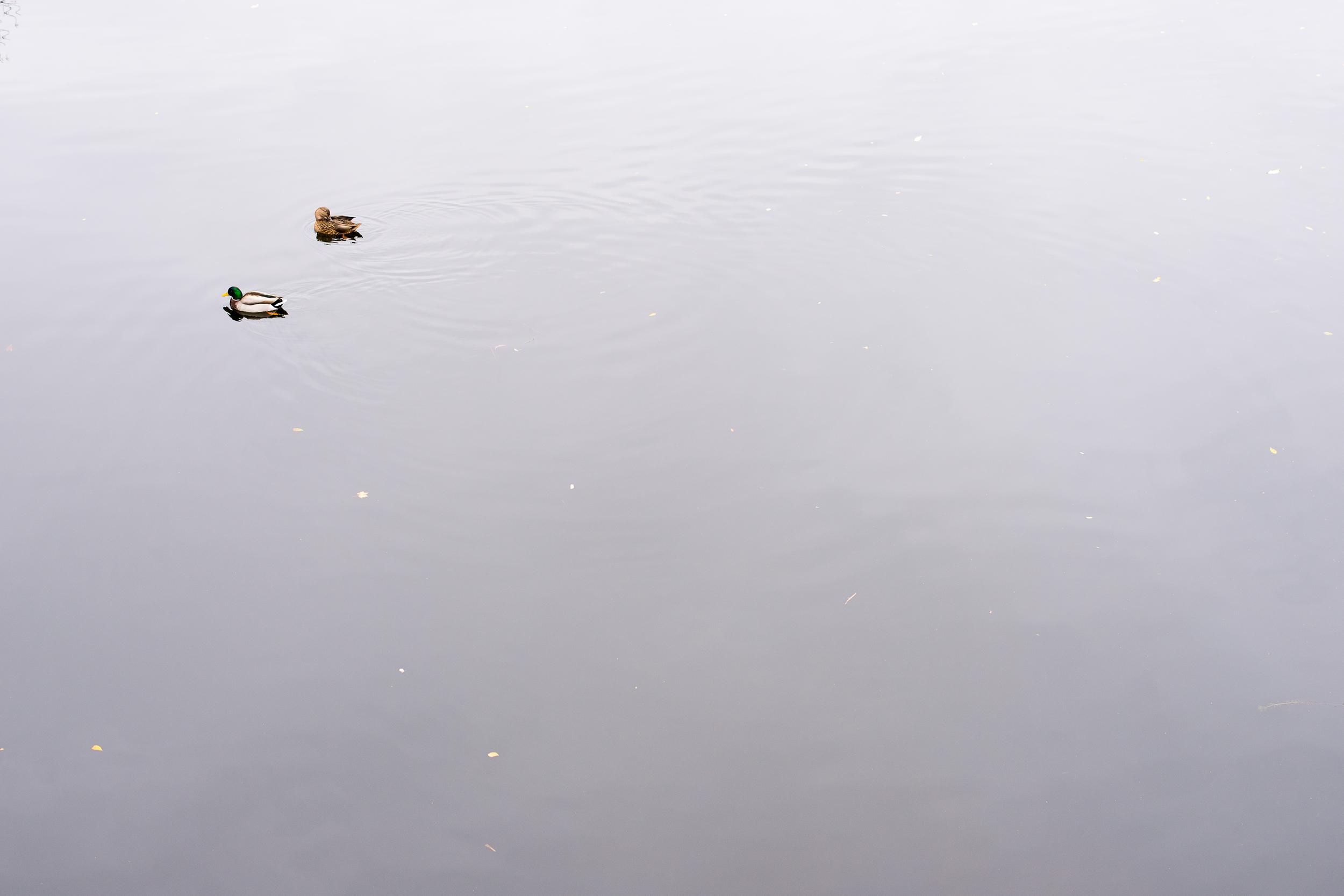 WinterHillStudio Ducks on Charles River.jpg