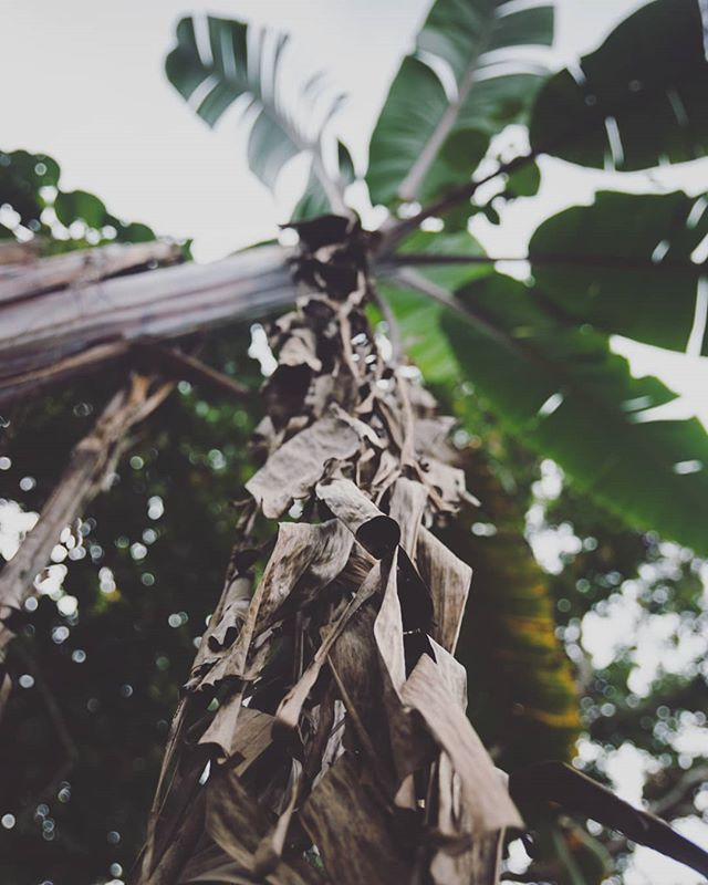 I loved the texture of the dying palm leaves 🌴🌴🌴 Shot in #vanuatu. . . . . #palm #leaves #travel #lifestyle #canon #tree #texture #elifrancis