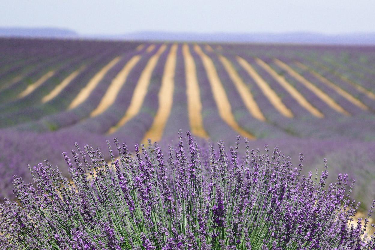 Lavender Bloom