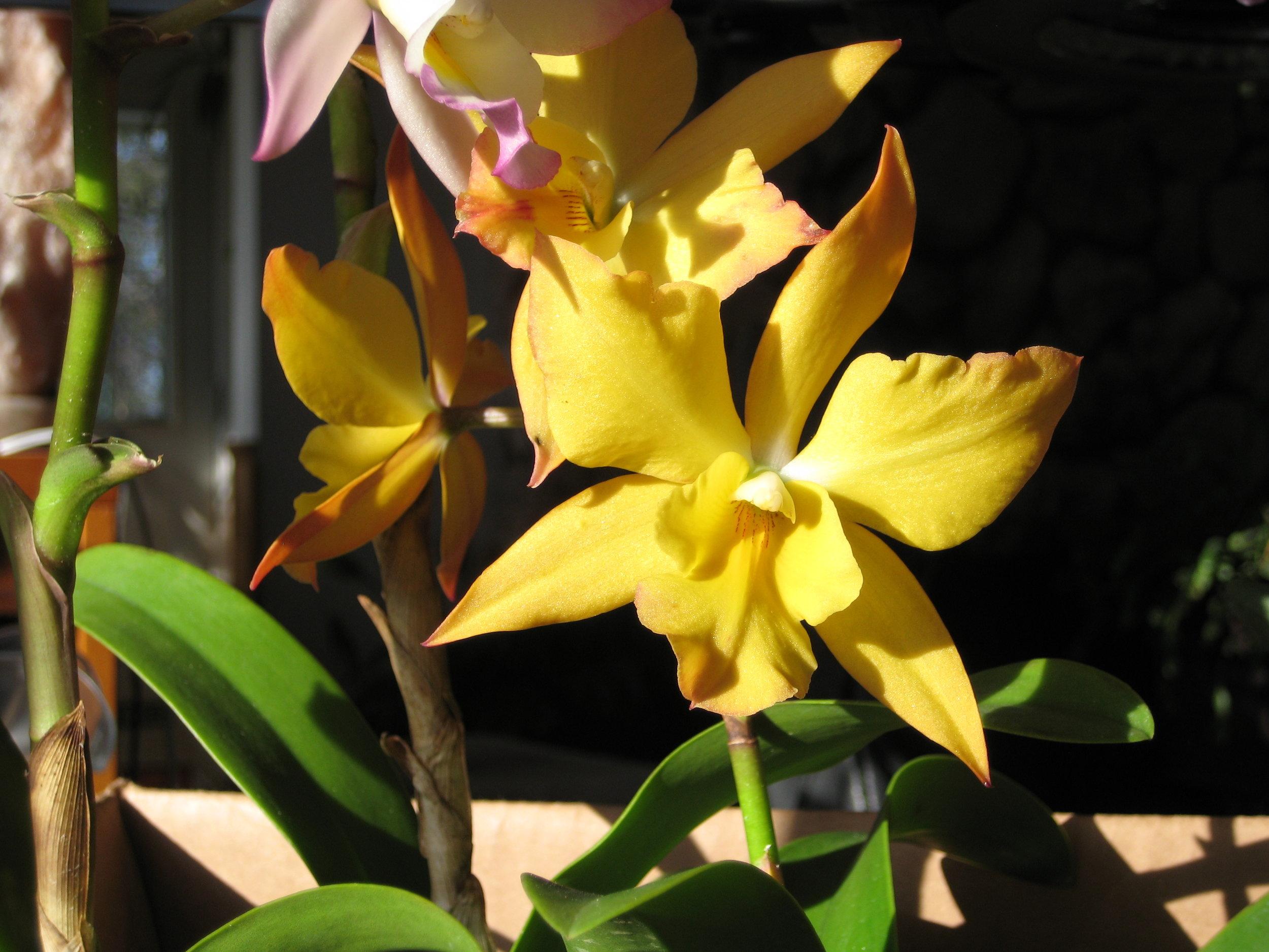 Iwanagara Appleblossom 'Golden Beauty' (2).JPG