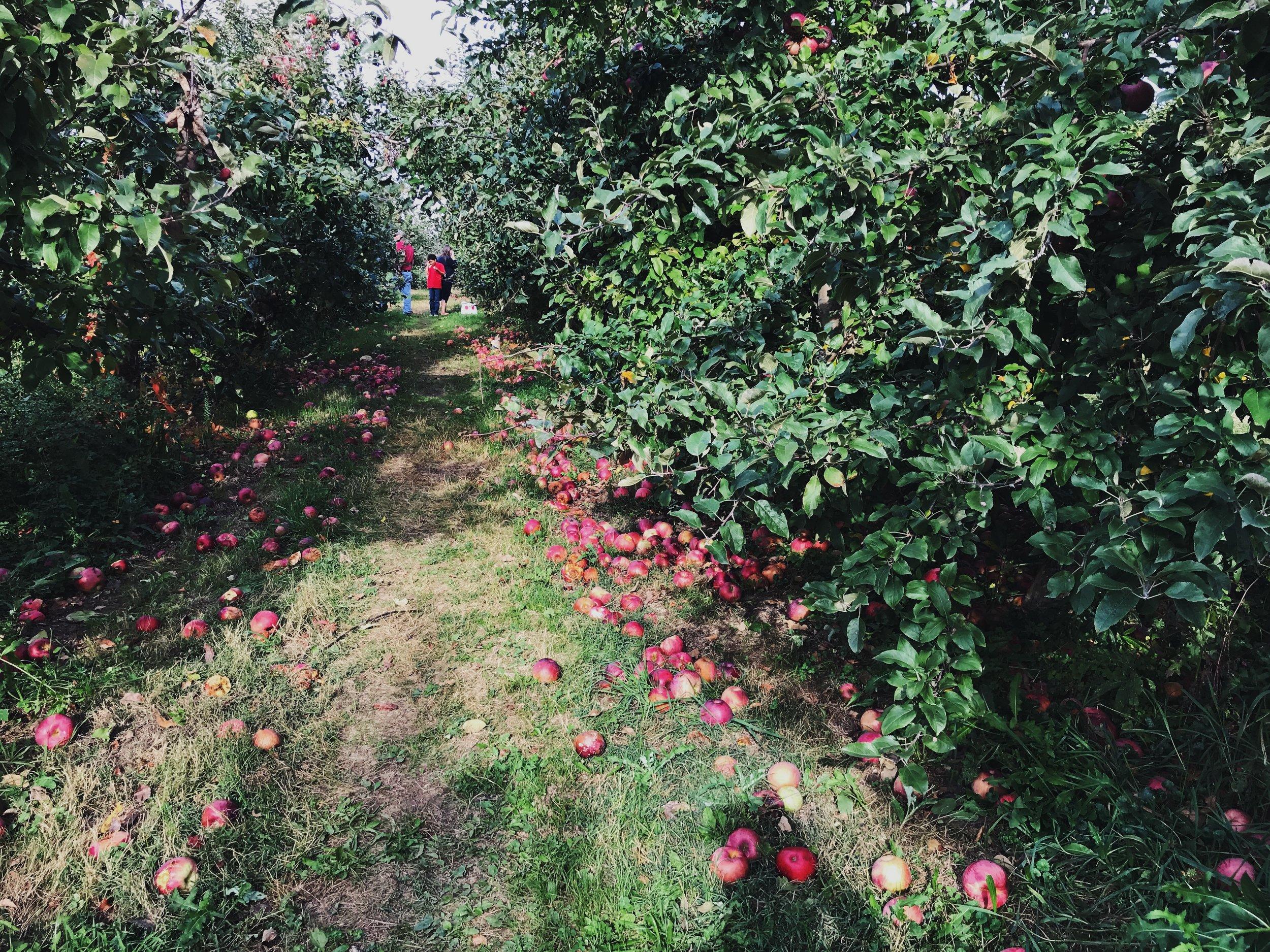 apple picking in upstate new york