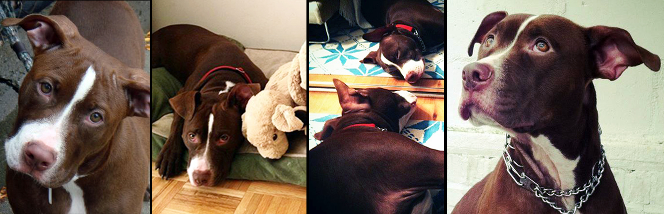 MILA. Rescued from a kill shelterin Manhattan, after beingsurrendered due to anti–pitbull housing regulations. Mila now lives a very happy life filled with love from her mom Laura, her best human friend Gio and her best doggie friend Chloe.
