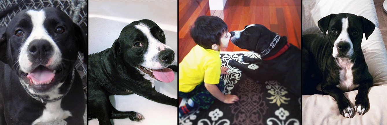 """MONTY.  Rescued from overflow, at a kill shelter in Manhattan. Monty (Private Montgomery """"Monty"""" Kumar) is now living happily with his daddy Bharat. In his home he has staked claim to Bharat's ottoman, forcing him to rename it the """"Montoman."""""""