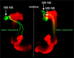 - Here, mushroom body neuroblasts that ectopically persist into adult stages generate new neurons (green). The axons of these new ectopic neurons must then integrate into the lobed mushroom body structure (red) already present in the adult brain.