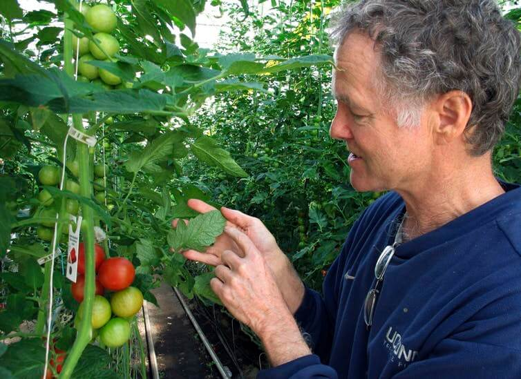 Dave Chapman, owner of Long Wind Farm, checks for insects on organic tomato plant leaves in his greenhouse in Thetford, Vt. Chapman is a leader of a farmer-driven effort to create an additional organic label that would exclude hydroponic farming and concentrated animal feeding operations. Lisa Rathke/AP Photo