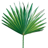 Saw palmetto herbal extract