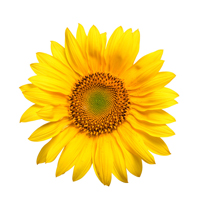 Sunflower seedoil is best for body care.