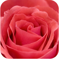 Rose Otto essential oil is best for sensitive, dry, combination skin and anti-aging.
