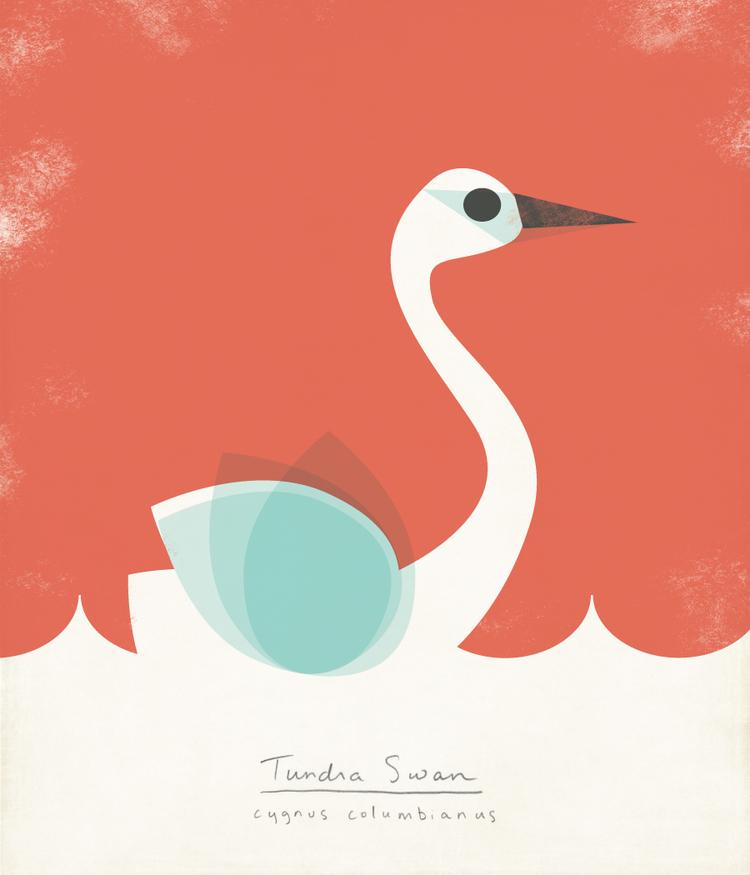 Tundra Swan Illustration