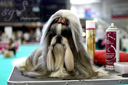 dog_show_shih_tzu_blog.jpg