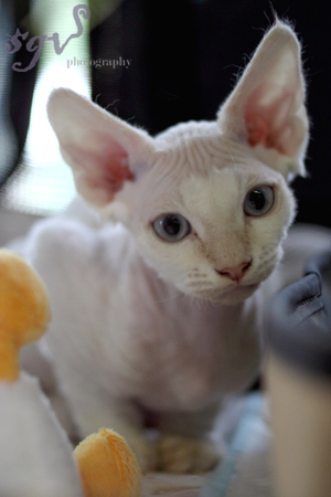 expo_devon-rex_chaton_web.jpg