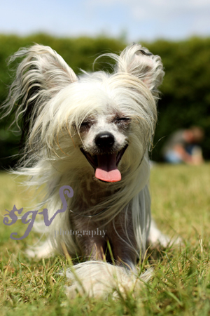 chinese_crested.jpg