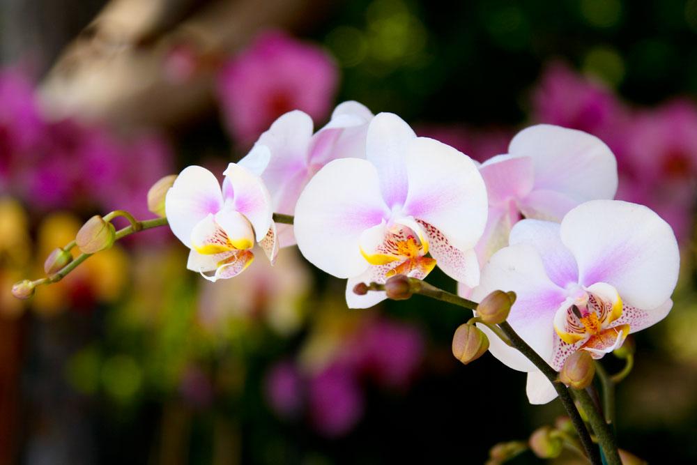 EdJohnston-Light-Pink-Orchid-7529w.jpg