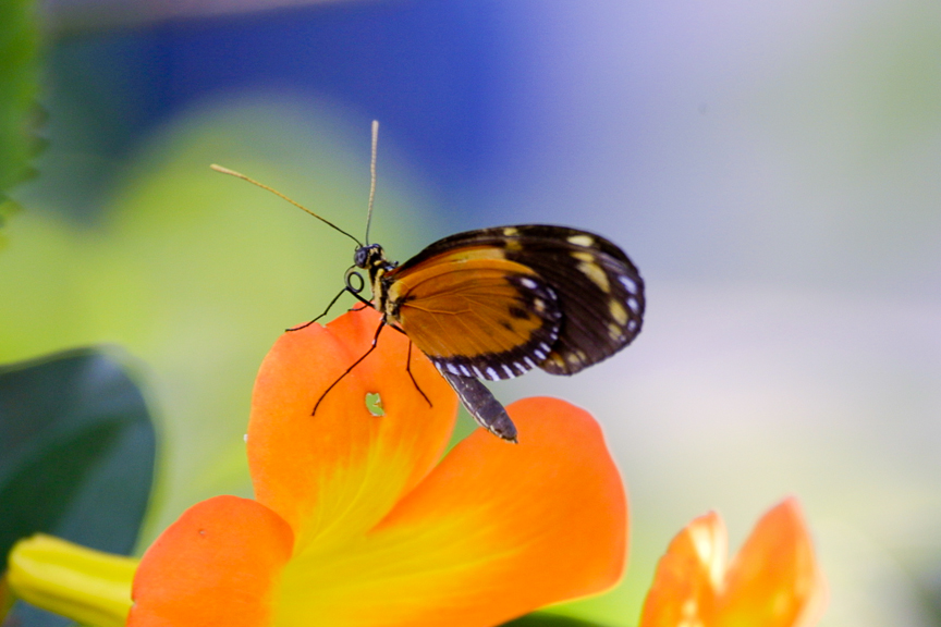 EdJohnston-Orange-Butterfly-9237w.jpg
