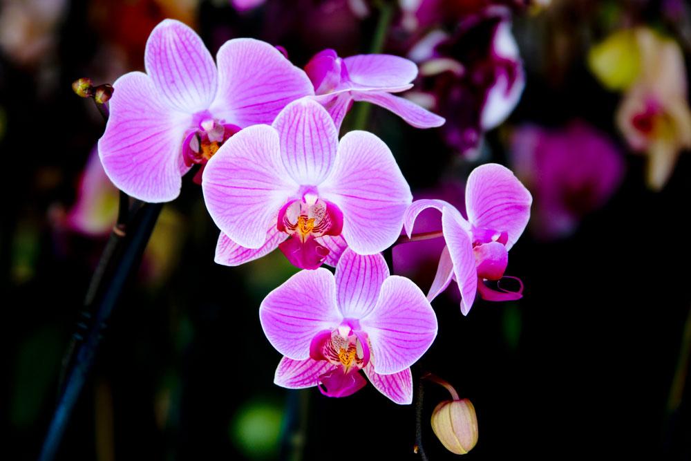 EdJohnston-Pink-Orchid-7503w.jpg