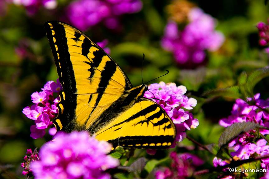EdJohnston-Tigertail-Swallow-Butterfly-8327w.jpg