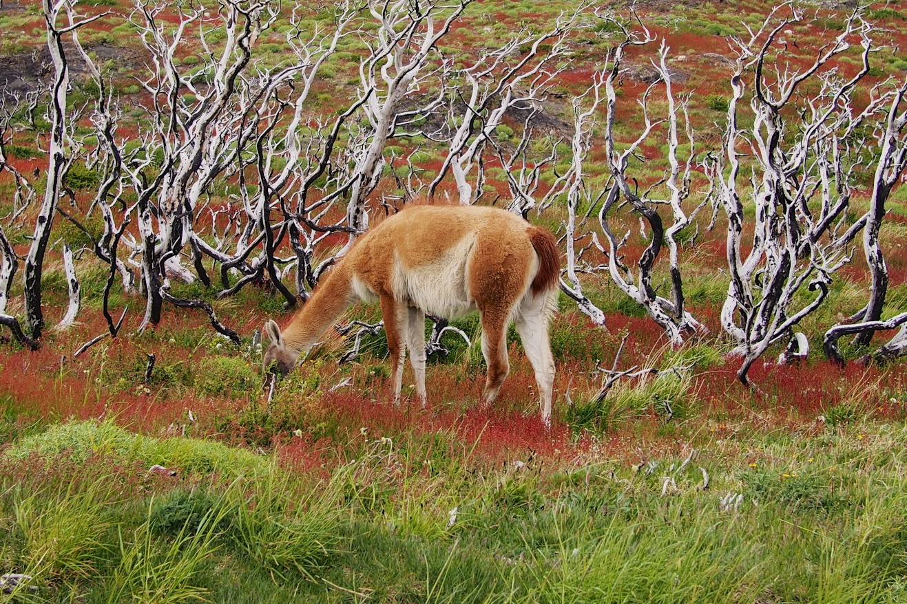 Our first sighting of the guanaco as we waited for our boat to cross Lake Pehoé