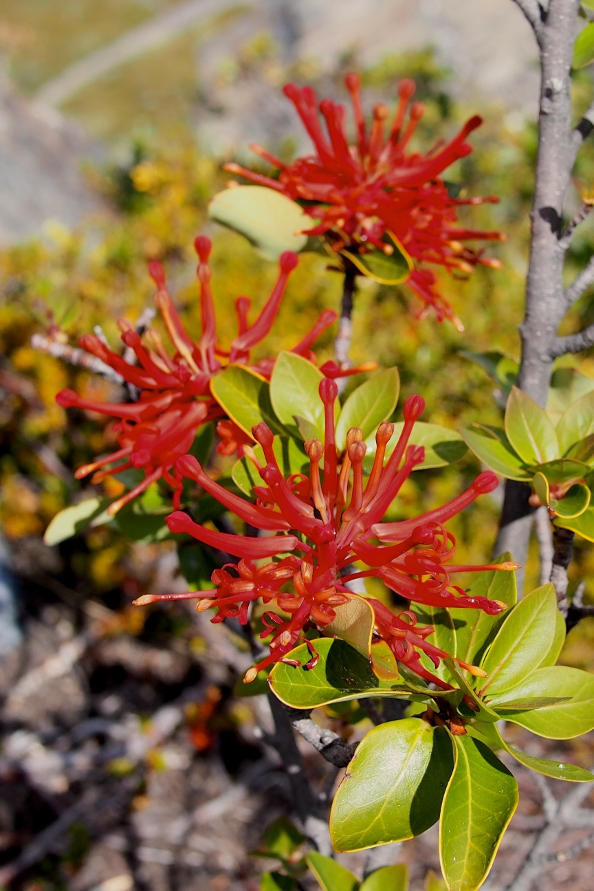 Embothrium coccineum , more well known as Chilean fire bush, is a constant companion on the trek