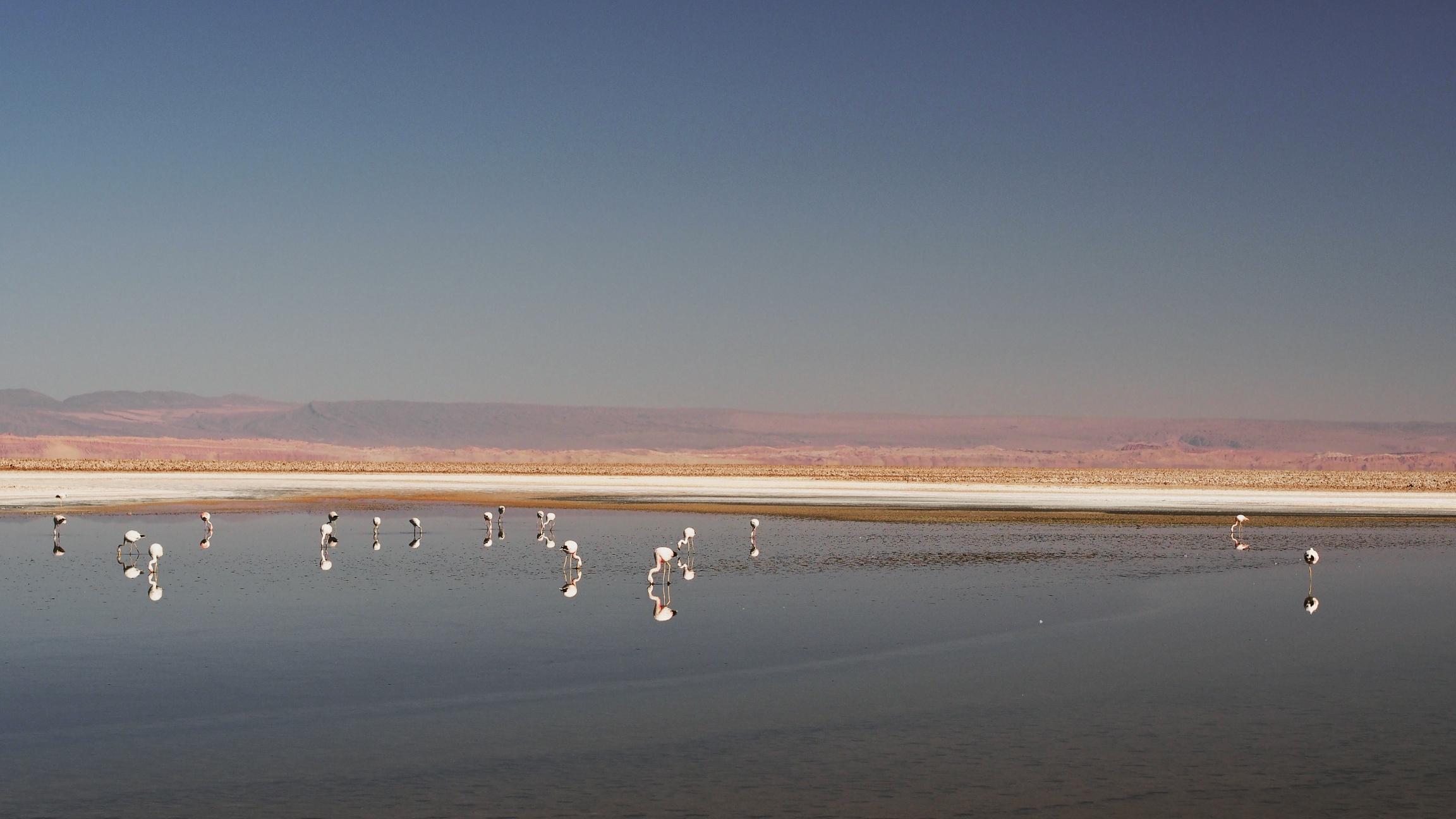 Flamingos on Salar de Atacama