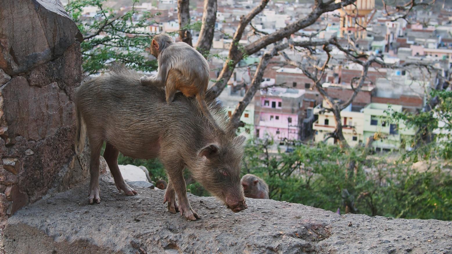 pig carries monkey, monkey eats bugs.