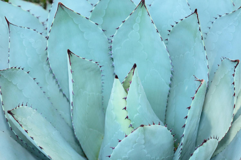 Baja Blue Agave