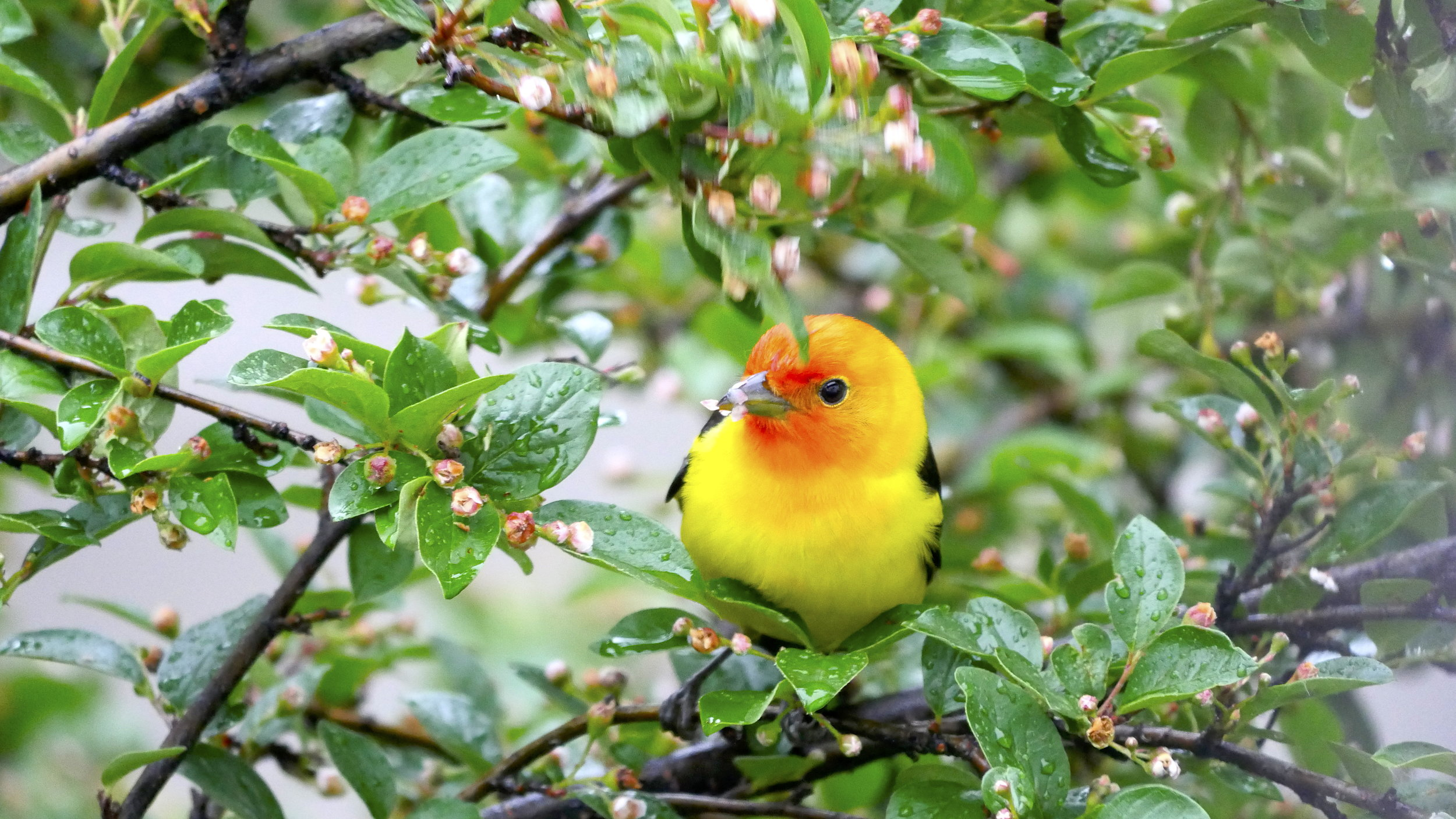 Western tanager, a sign of summer in Yellowstone Country.