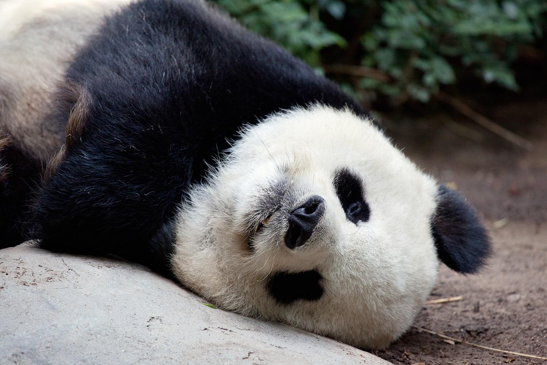 Panda_05.jpg