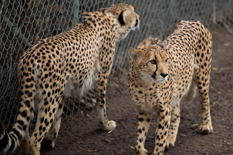 Cheetahs-10.jpg