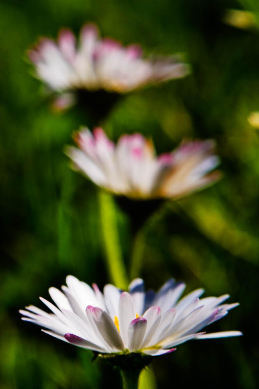 Wild daisy 6