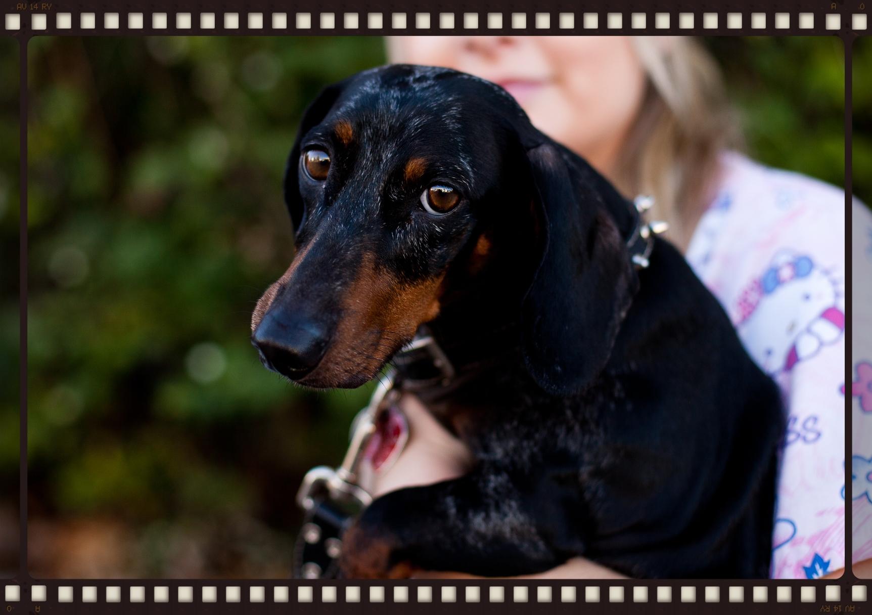 Roméo traité en acupuncture vétérinaire