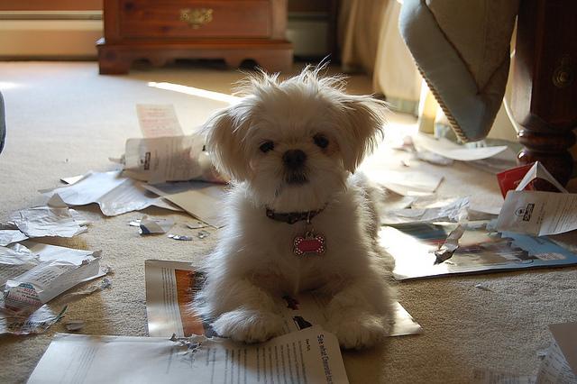 Destruction compulsive par votre chien