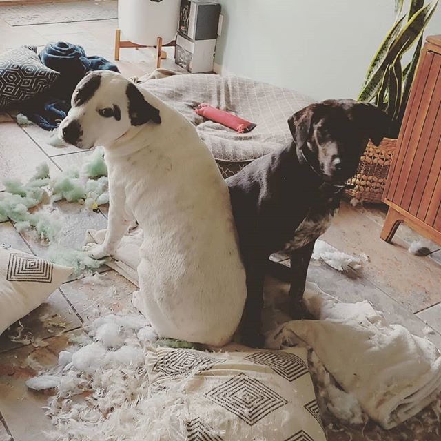 I guess the dogs need to stay in their crates while we're gone. Notice in the background the dog toy on the dog bed that is fully intact. 3 pillows, 2 blankets, and 1 remote go down. 1 dog toy and 1 dog bed survived. 🐶🐕 #wraystagram #mydogeatspillows #puppies
