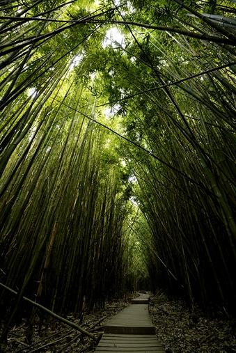Bamboo Forest - Maui