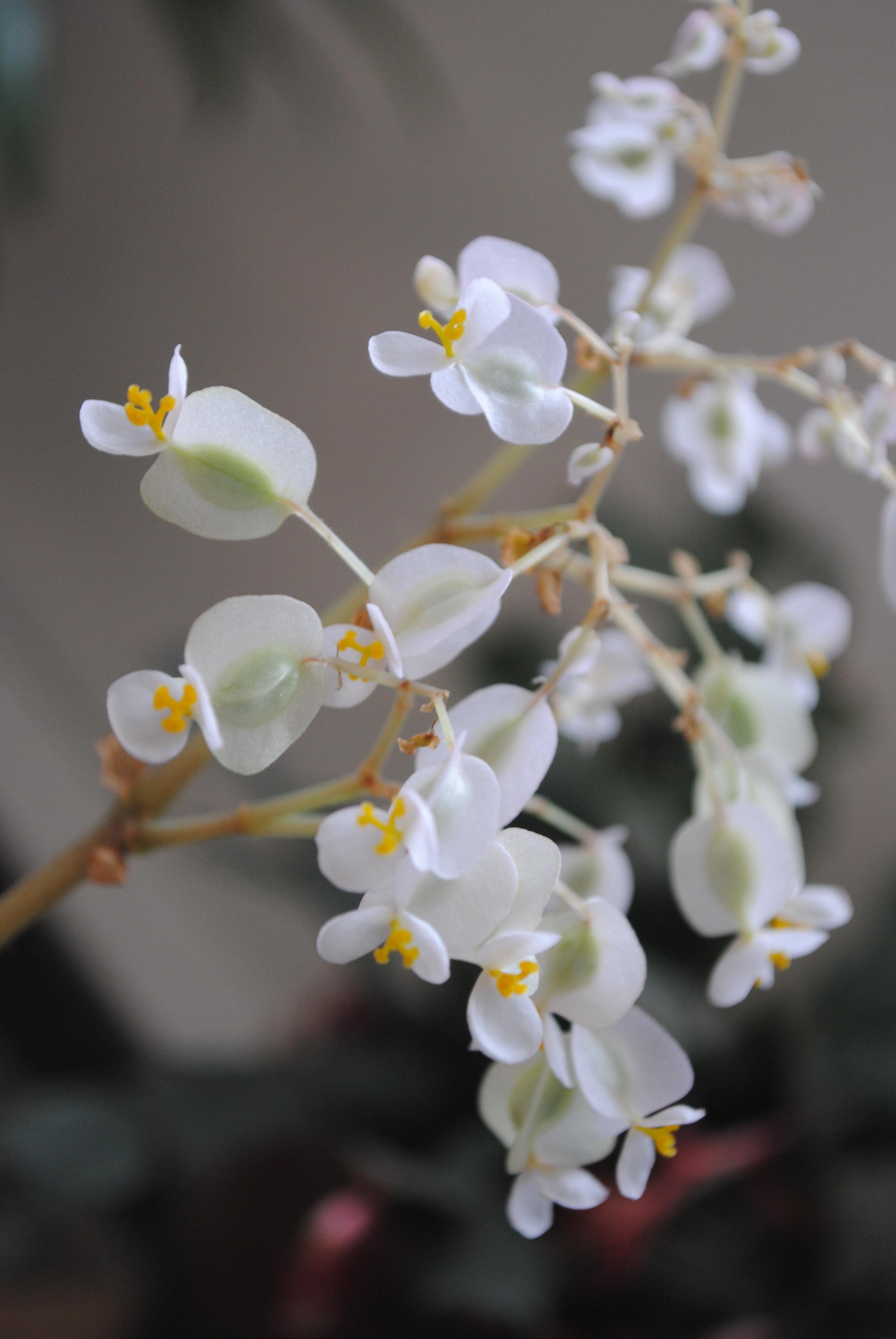 """Fig. 3 - Flower Detail, """" Beefsteak"""""""