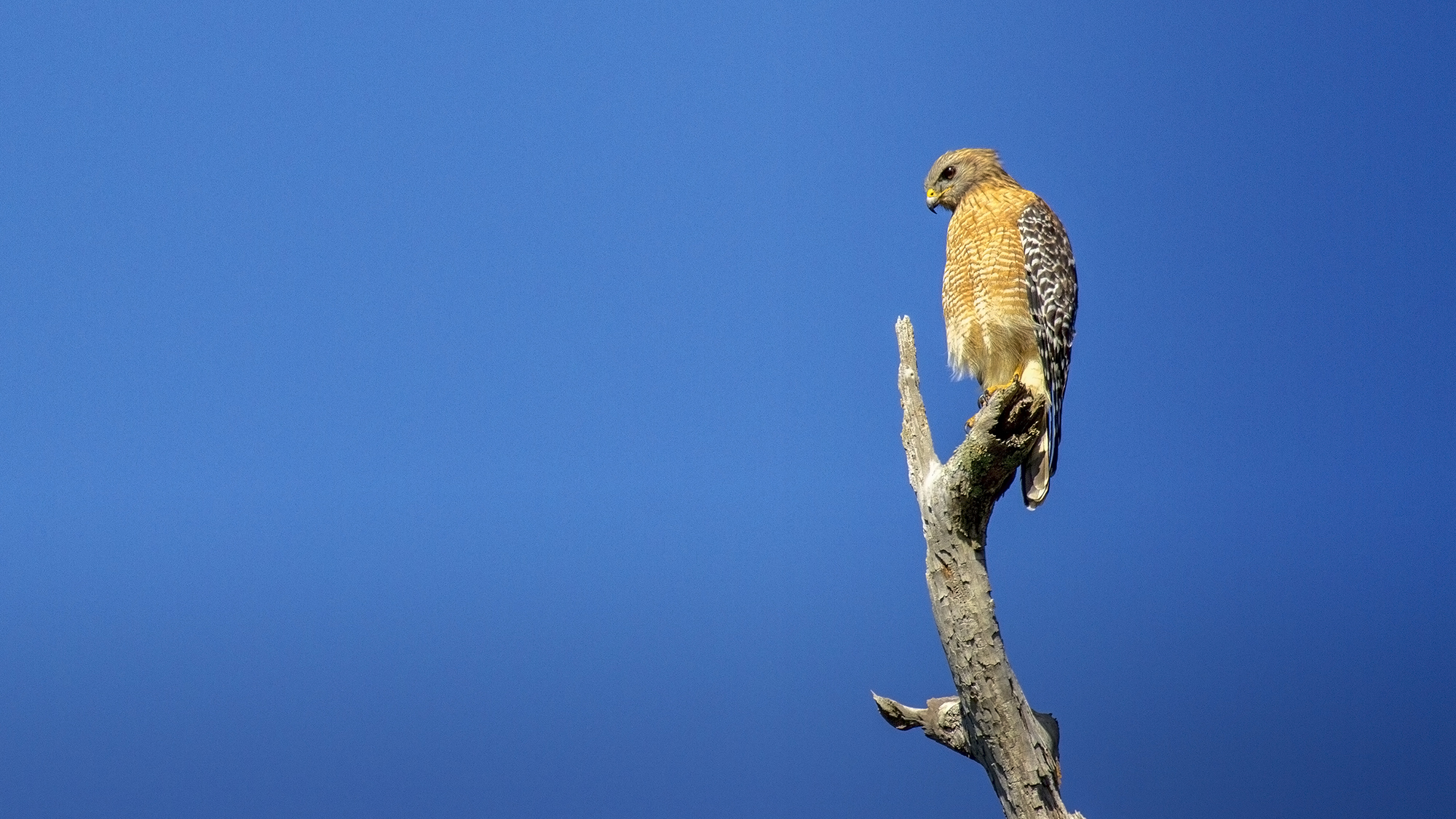 Red shouldered hawk spotted at the Corkscrew Swamp Sanctuary in Naples, FL last weekend.
