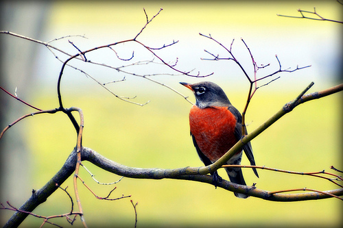 8+BIRD+Robin+against+yellow+by+blmiers2+Flickr.jpg