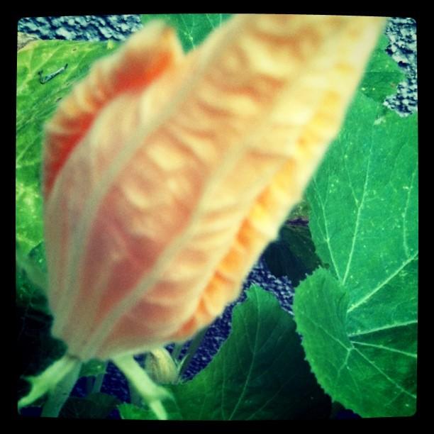 6+Zucchini+Flower.jpg