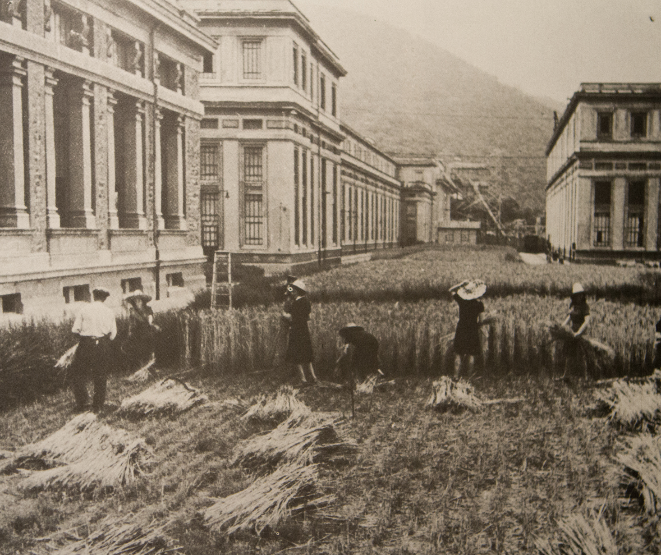 Harvesting grain grown on the grounds of the Ferrania campus in 1939