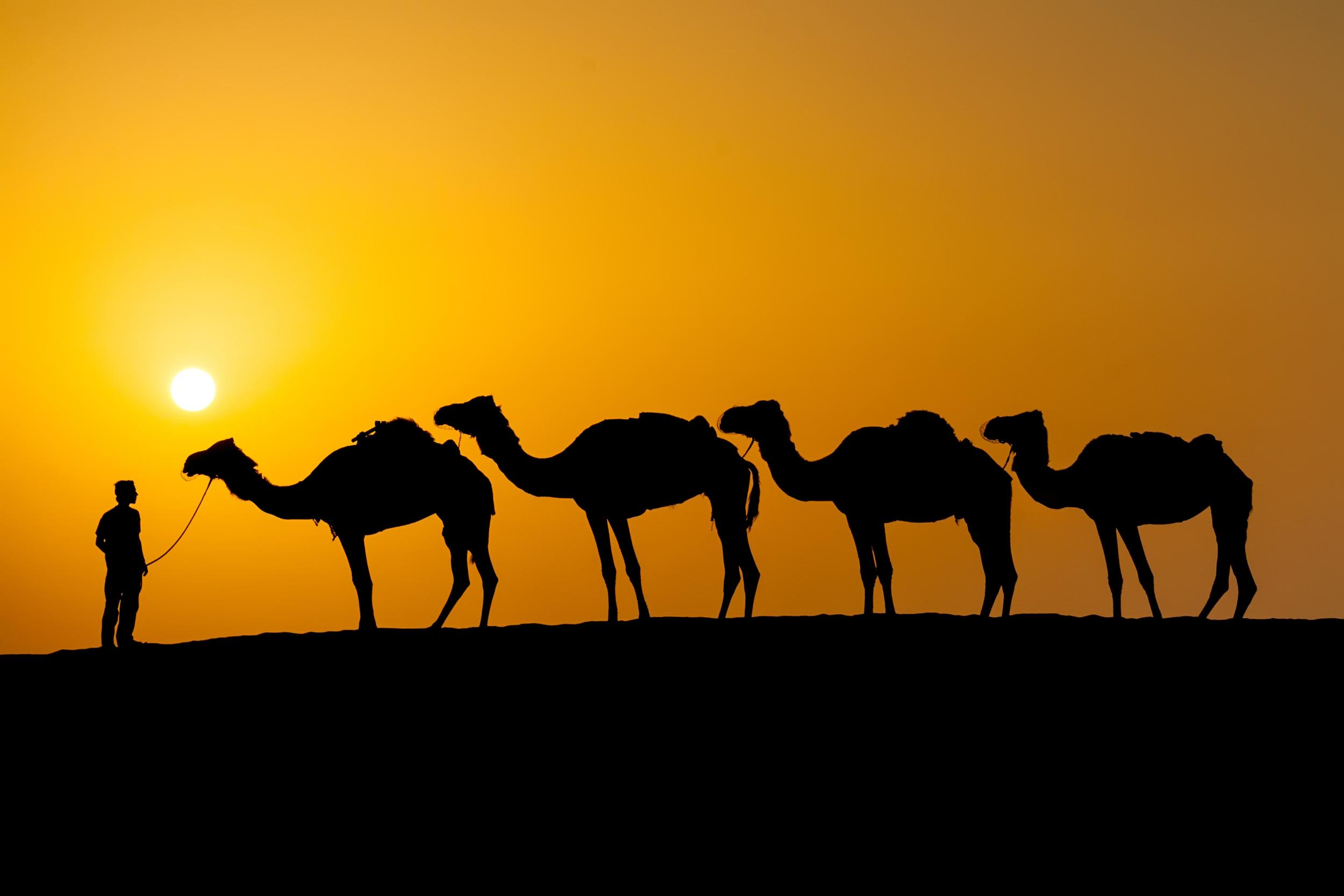 Camels 3.jpg