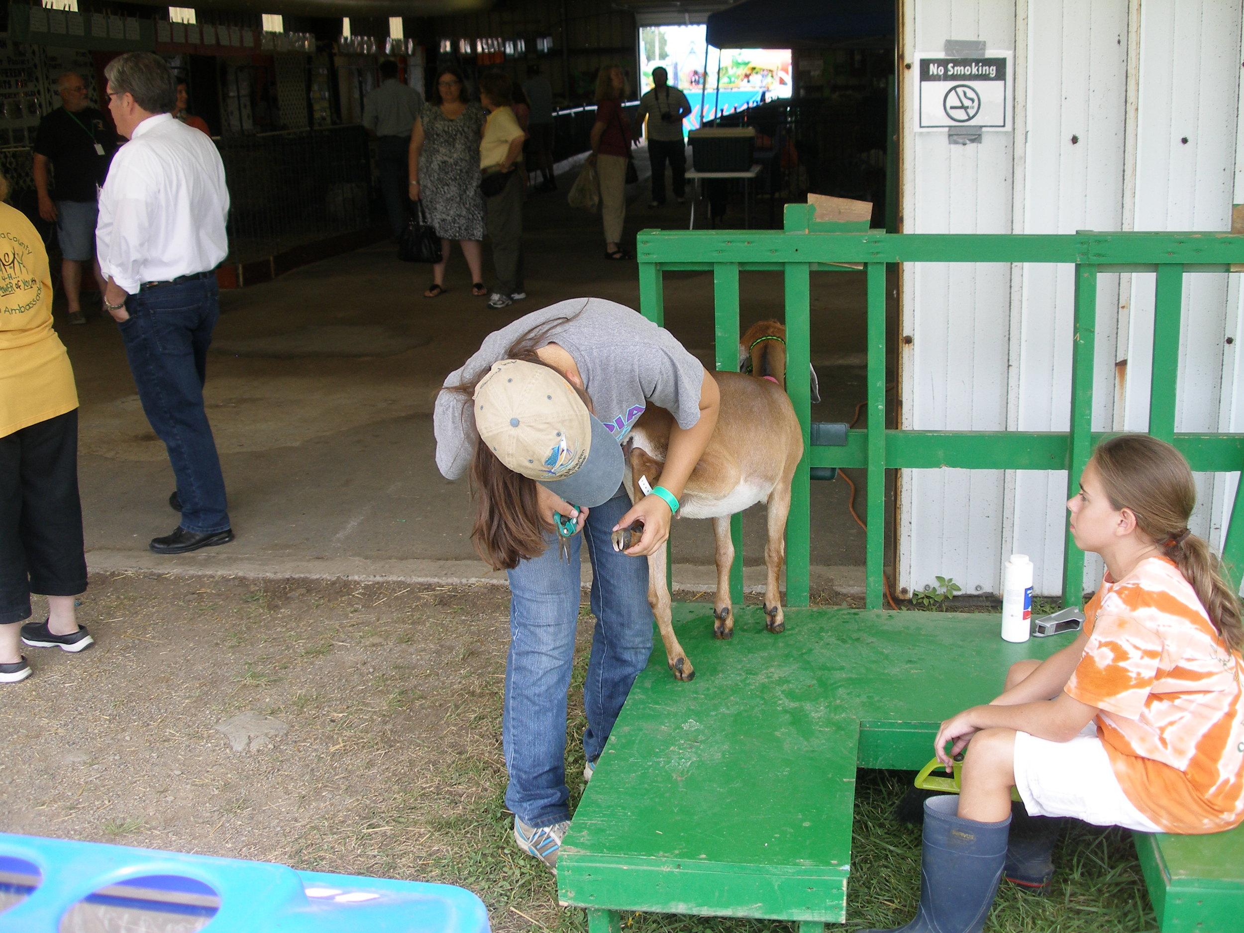 County Fair Grooming the goat.JPG