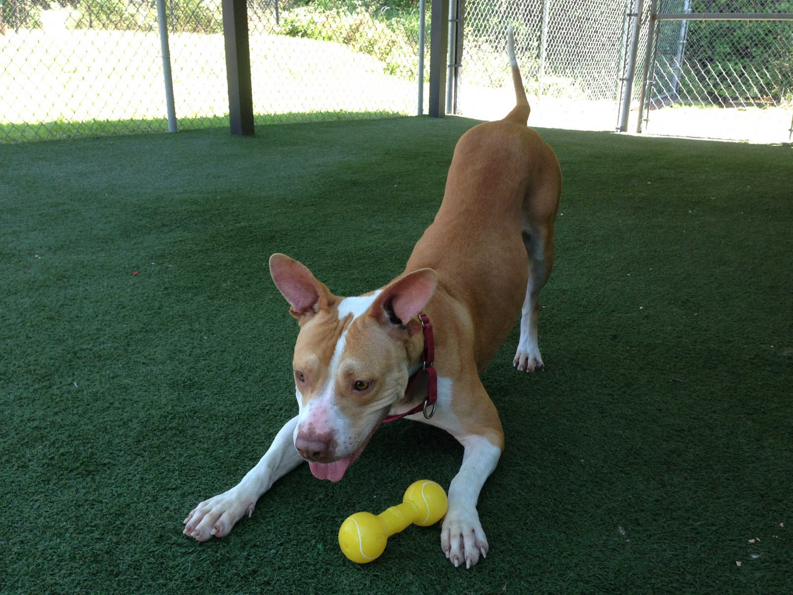 Here is Bab's now. You can see what a playful, sweet girl she is! She is happy to be off the streets and is looking for that special family to love her forever.