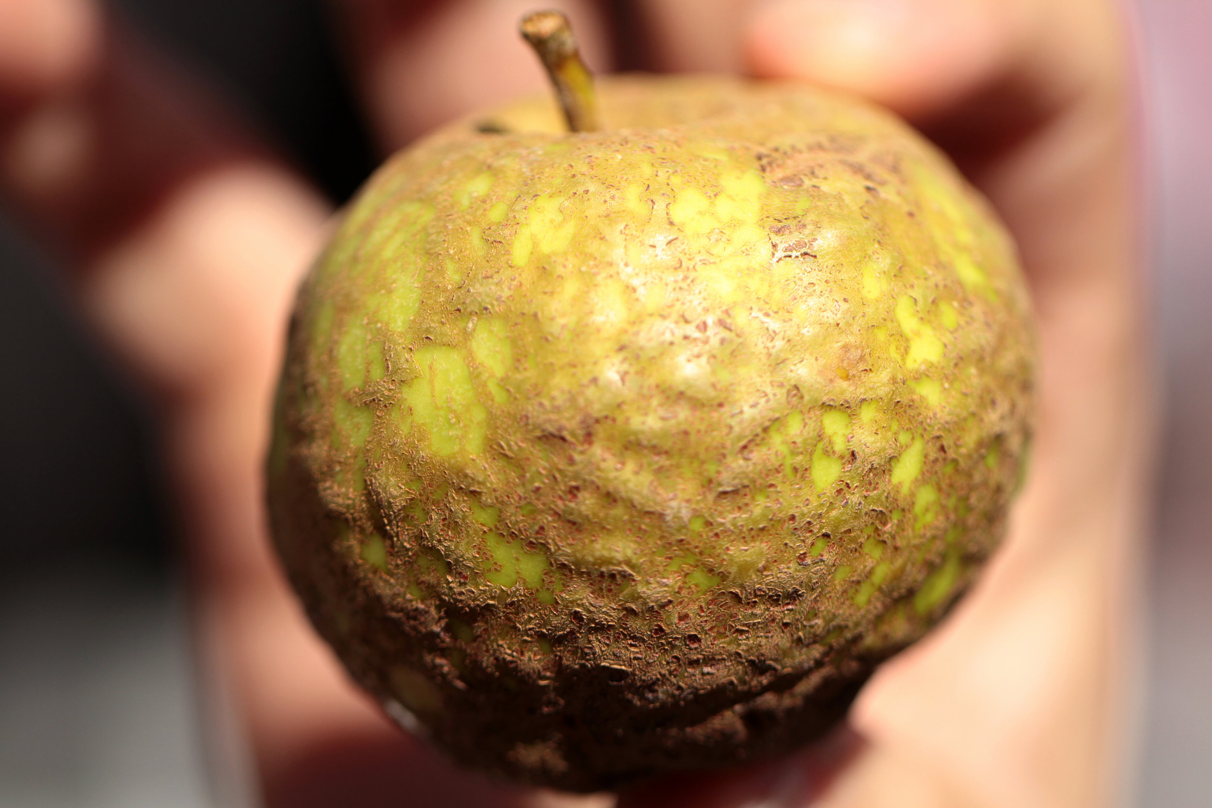 Knobbed Russet