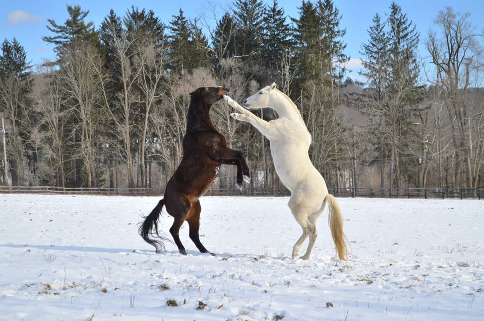Happy ending: Tacticianor and his buddy Remington play in the snow at Akindale.