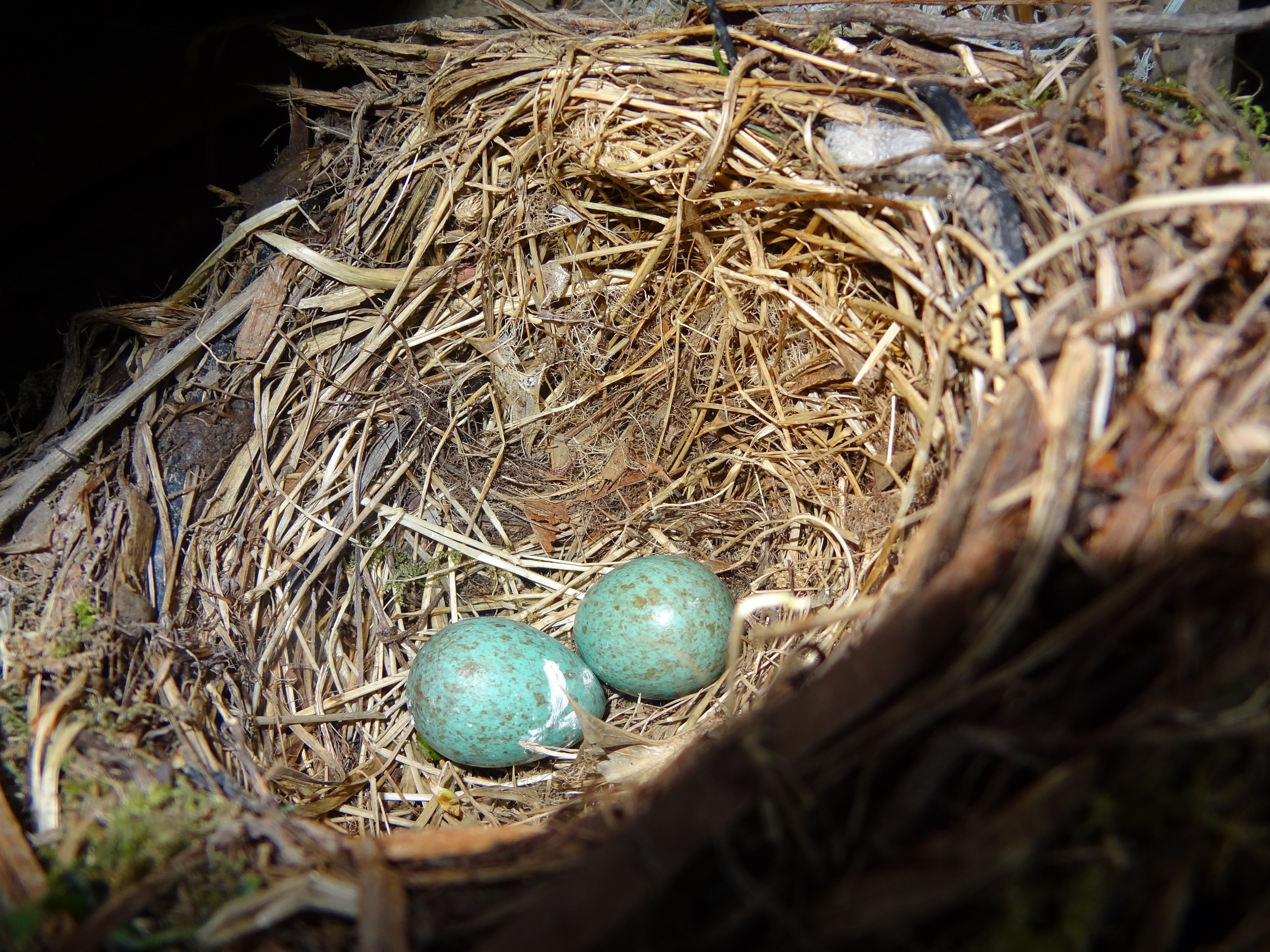 two bright blue blackbird eggs in a nest