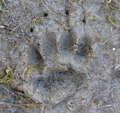Badger footprints and signs