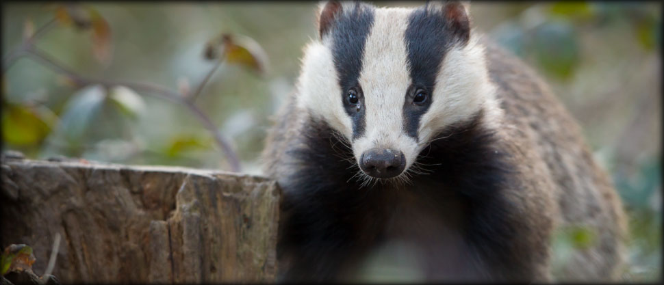 Image from the Badger Conservation group