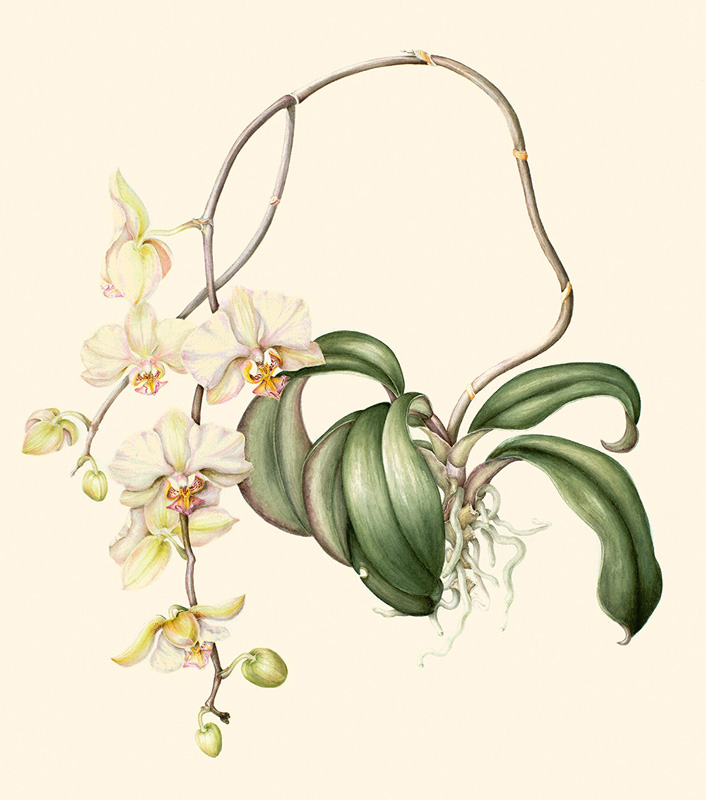 """Phalaenopsis Orchid   Watercolor on 140 lb. hot-pressed Arches, 23"""" x 19"""""""