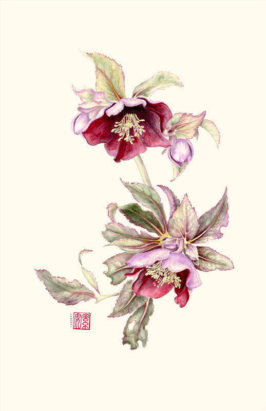 "Lenten Rose   Watercolor on 140-lb. hot-pressed Arches, 14.5"" x 10"""