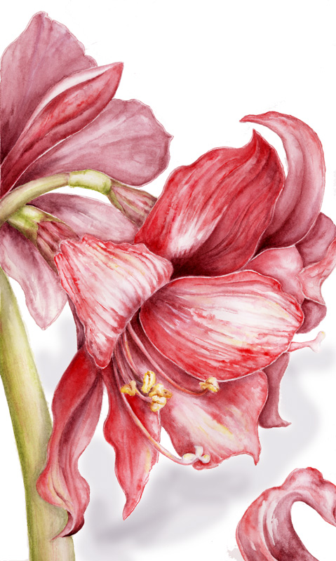 """Red Amaryllis   Watercolor on 140 lb. hot-pressed Arches, 13"""" x 10"""""""